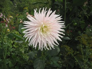 wild french flower in Giverny